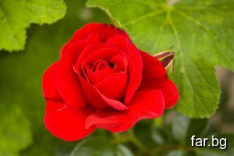 Малкият принц отиде да види пак розите- Вие въобще