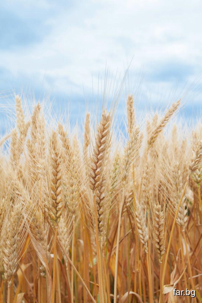 Ще бъдете тихи и спокойни, като житното зърно ще с